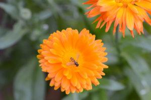 Wildbienen naschen an Ringelblumen